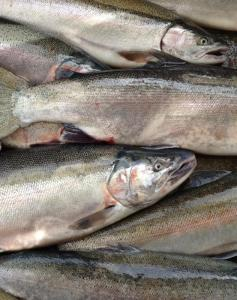 Pacific Steelhead Trout